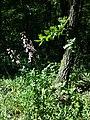 Dictamnus albus sl50.jpg