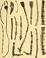 Die gestielten crinoiden der Siboga-expedition (1907) (20933394171).jpg