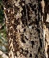 Dillenia pentagyna trunk- at Jayanti, Duars, West Bengal W IMG 5392.jpg