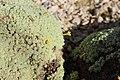Dionysia tapetodes BotGardMunich 20170225 C.jpg