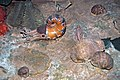 Diorama of a Permian seafloor - coiled cephalopod, oldhaminid brachiopods (44791289195).jpg