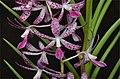 Dipodium ensifolium.jpg