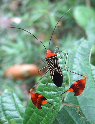 Coreidae - Image: Dirkvd M aerobics insect