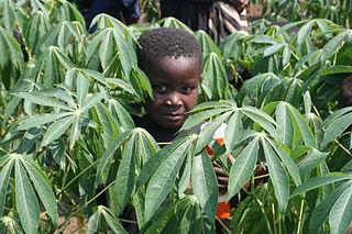 Cassava production in the Democratic Republic of the Congo