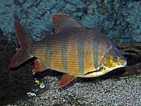 Distichodontidae - Distichodus sexfasciatus.JPG