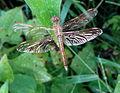 Ditch Jewel (Brachythemis contaminata) female.JPG