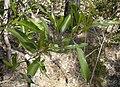 Dodonaea viscosa foliage.jpg