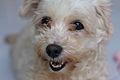 Dog Rescue Centre Samui, Ko Samui, Thailand (4570263053).jpg