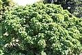 Dombeya Perrine 2zz.jpg