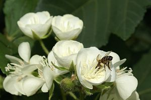 Dombeya acutangula flowers and a honey bee (Apis mellifera) collecting pollen