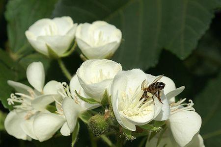 Dombeya acutangula Apis mellifera3.JPG