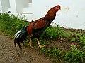 Domestic chicken IMG20170907145647.jpg