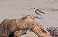 Dotterel, New Zealand Dotterel.jpg