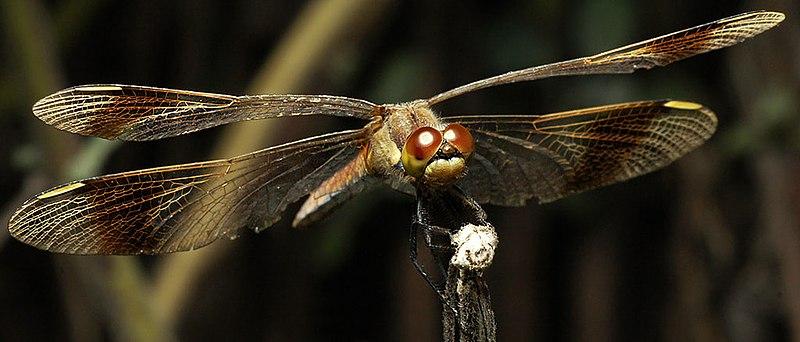 File:Dragonfly (11948375).jpeg