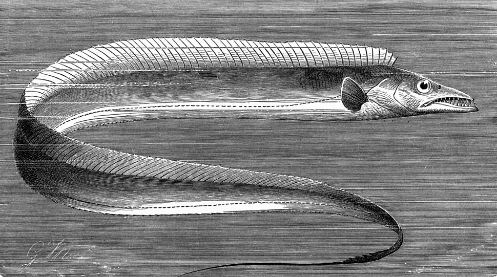 Drawing of Lepidopus caudatus from The Royal Natural History (1896)