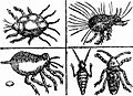 Drawing of Mites.jpg