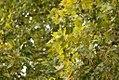 Drvenste vrste biljaka, Niška tvrđava, Niš, Srbija (230).jpg