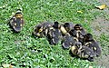 Ducklings Sleeping (15405502750).jpg