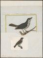 Dulus dominicus - 1700-1880 - Print - Iconographia Zoologica - Special Collections University of Amsterdam - UBA01 IZ16600297.tif