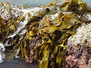 Phlorotannin - Durvillaea antarctica, a brown algae containing phlorotannins.