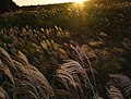 Dusk of a golden silver grass field ススキ野原の夕暮れ2 - panoramio.jpg