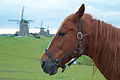 Dutch horse (4653520511).jpg