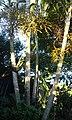 Dypsis lutescens - Areca Bambu.jpg