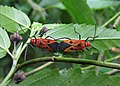 Dysdercus cingulatus, mating.jpg