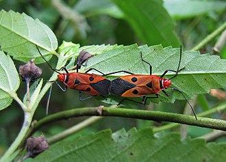 Pyrrhocoridae - Dysdercus cingulatus, India