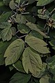 Early Blue Cohosh (Caulophyllum giganteum) - Guelph, Ontario 2016-05-10.jpg