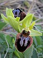 Early Spider Orchid (34261458316).jpg
