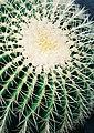 Echinocactus grusonii closeup.jpg
