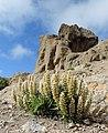 Echium onosmifolium Roque nublo kz1.jpg