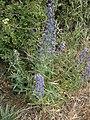 Echium vulgare RHu 001.JPG