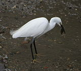 Egret with fish.JPG