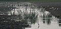 Egrets & Ibises in AP W IMG 4145.jpg
