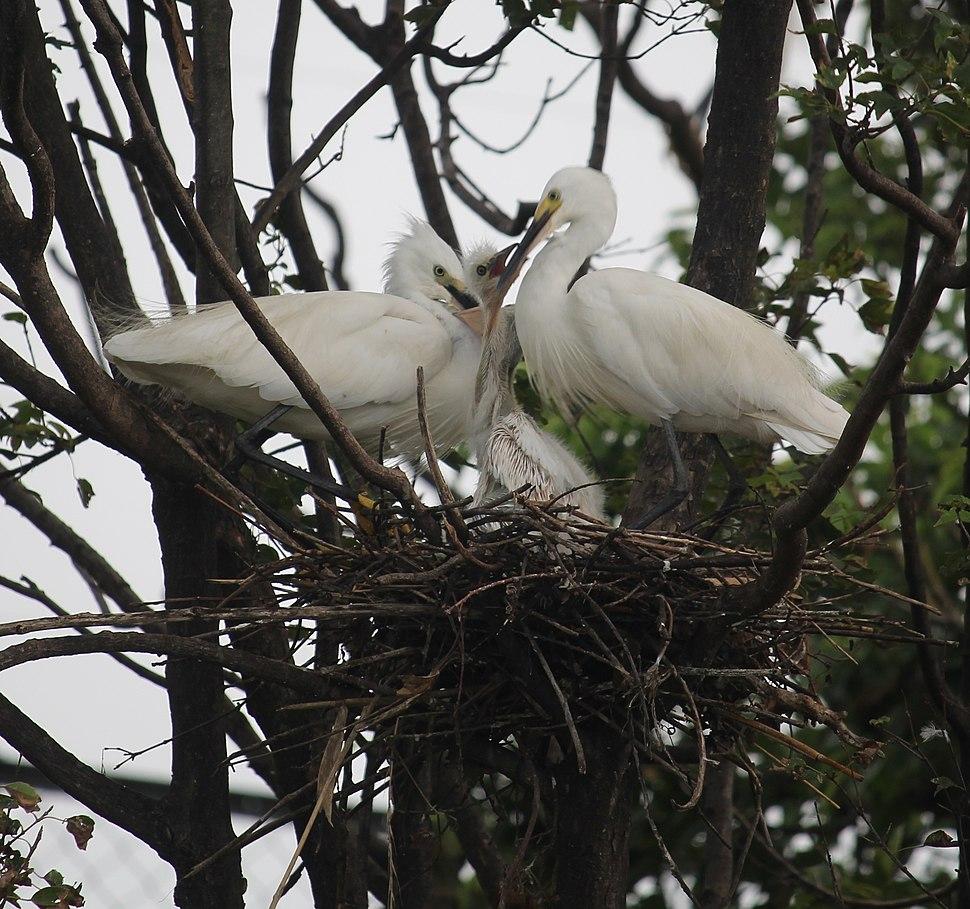 Egretta garzetta (nest with juvenile s3)