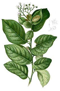 <i>Ehretia</i> Genus of flowering plants in the borage family Boraginaceae