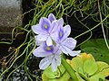 Eichhornia crassipes (water hyacinth) flower.JPG