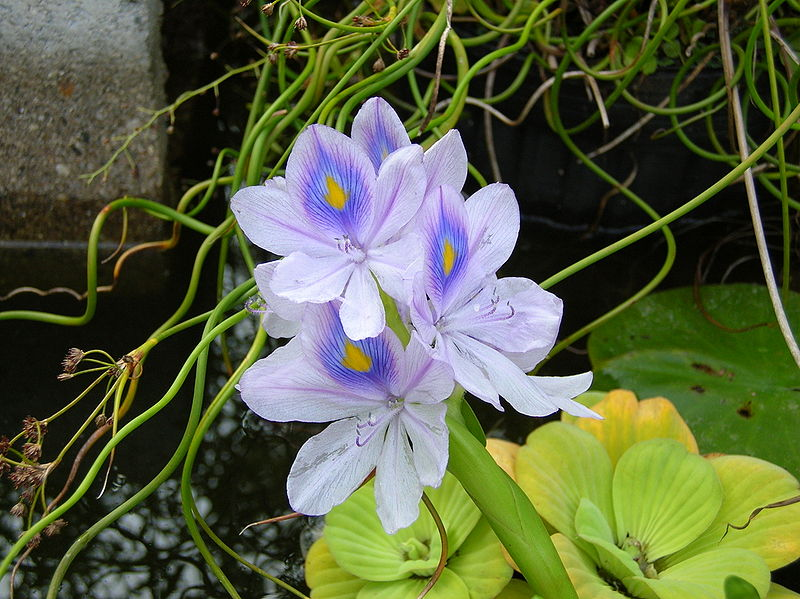 File:Eichhornia crassipes (water hyacinth) flower.JPG