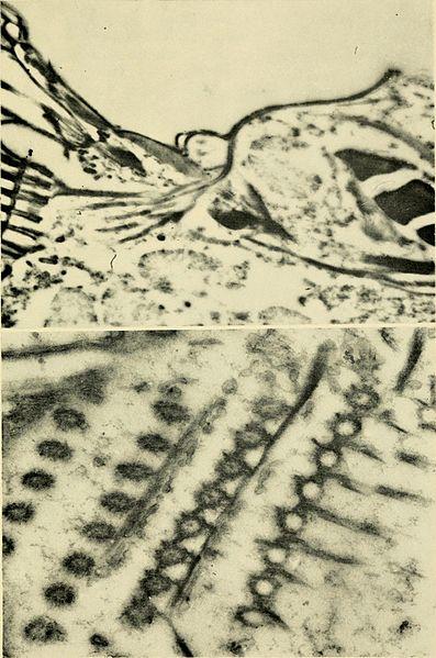 File:Electron-microscopic structure of protozoa (1963) (21183081446).jpg