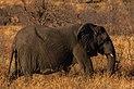 Elefante africano de sabana (Loxodonta africana), parque nacional Kruger, Sudáfrica, 2018-07-25, DD 14.jpg