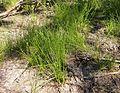 Eleocharis setifolia habit.jpg