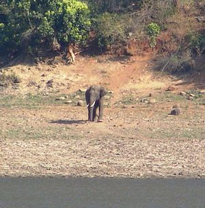 Sathyamangalam - An Indian elephant at Sathyamangalam Wildlife Sanctuary