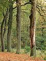 Elfbergen Gaasterland. Dode eik (Quercus) 02.JPG