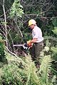 Employee chain sawing to control exotic invasive melaleuca.jpg