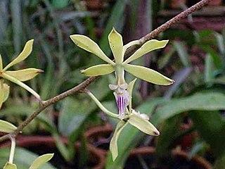 <i>Encyclia</i> genus of plants