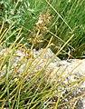 Ephedra Puech Blanc 2.jpg