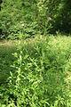 Epilobium hirsutum PID1114-1.jpg
