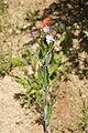 Epilobium parviflorum carriere-fossoy 02 23062008 01.jpg